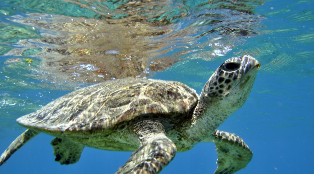 Green sea turtles are often seen by visitors on Compass Cruises